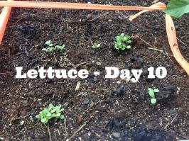 Lettuce10
